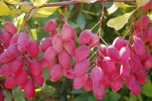 Настойка из листьев барбариса амурского (лечебная)