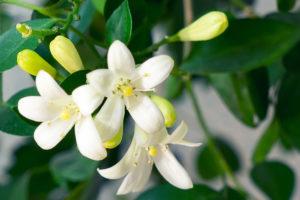 Ратафия из померанцевых цветов — 6 рецептов